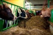 Mad Cow Disease-Still a Threat?