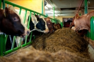 Mad Cow Disease-Still a Threat?